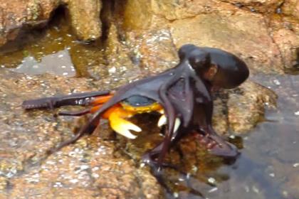Схватка осьминога и краба стала хитом Интернета