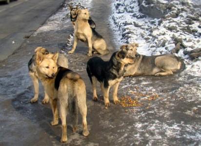 Следователи выявили массовые случаи нападения собак на людей в Забайкалье