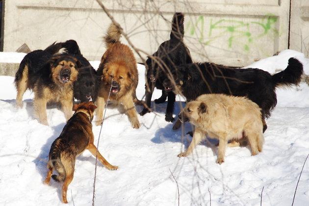По делу о нападении собак на ребенка в Чите проводятся масштабные обыски