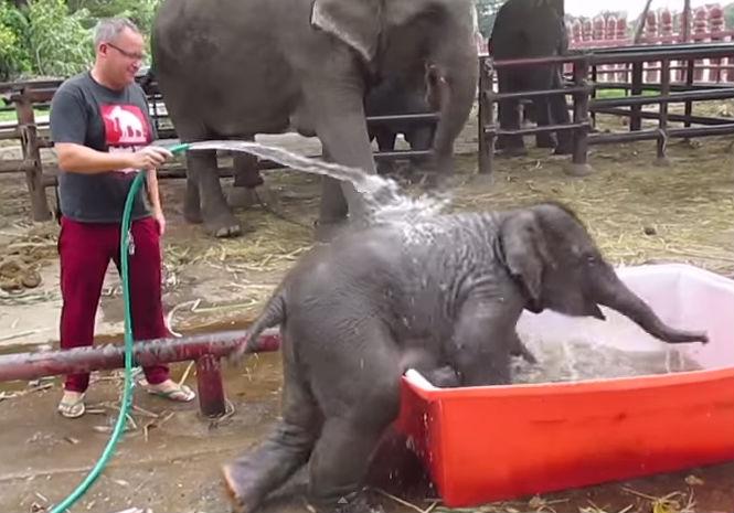 Неуклюжий слоненок умилил пользователей Интернета