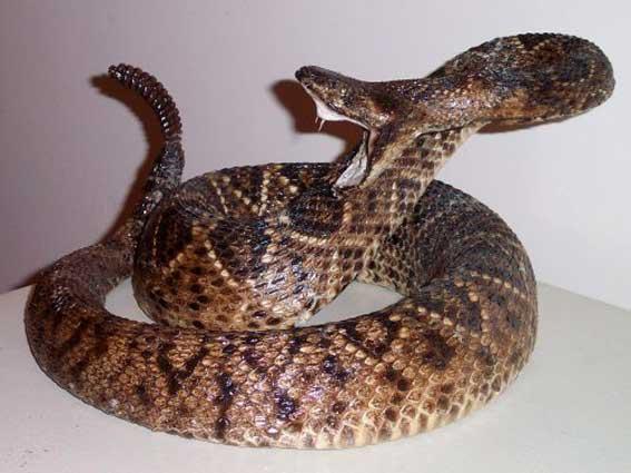 Спасатели не нашли укусившую жителя Мурманска гремучую змею