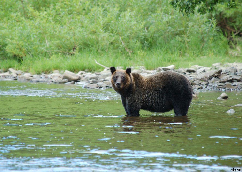 Аномально теплая погода разбудила медведей на Сахалине