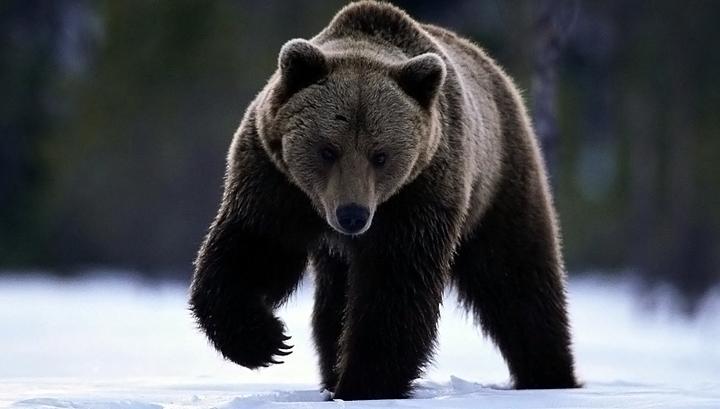 В Магадане медведи разворотили 30 могил и съели трупы