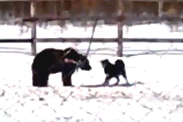 Спасенный медведь в Якутии стал притравой для собак