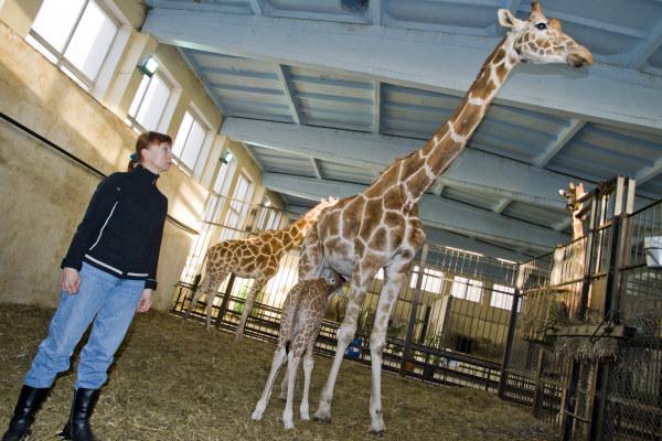 Самка жирафа насмерть разбилась в зоопарке Калининграда