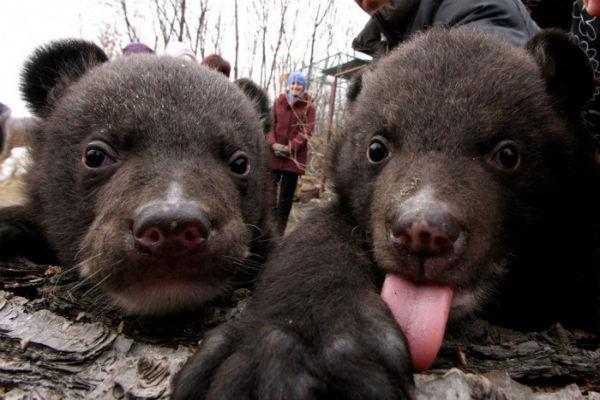 Охотник застрелил медведицу и попытался продать троих медвежат