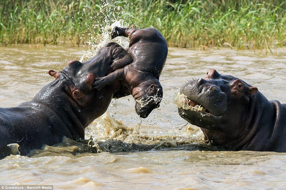 В Сети появились ужасающие кадры боя двух бегемотов