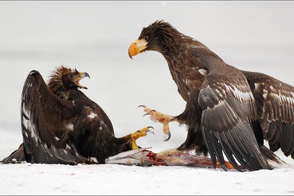 Птицы, занесенные в Красную книгу, стали каннибалами из-за голода