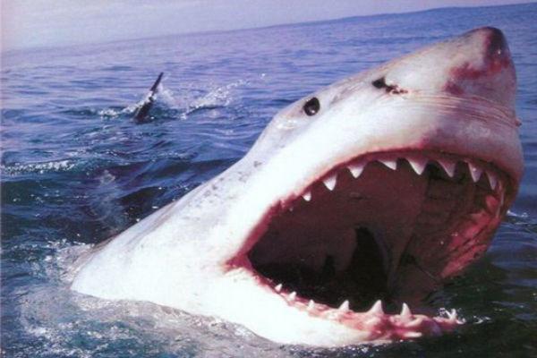 австралийские рыбаки выловили акулу людоеда