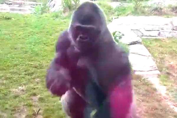 Темпераментный самец гориллы сделал бросок, ставший хитом YouTube