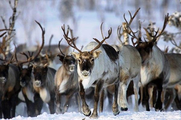 В Госдуме предлагают ввести особое квотирование на добычу дикого северного оленя