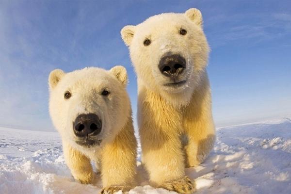 WWF обнаружил на территории Якутии порядка 37 белых медведей
