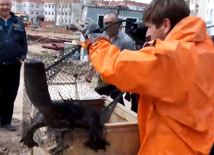 Челябинские спасатели втроем вытаскивали бобра из лужи