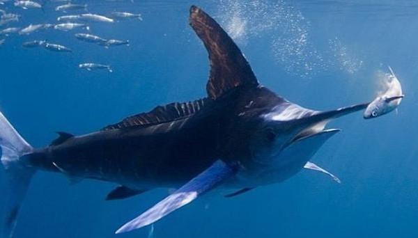 Гаваец отдал жизнь, пытаясь поймать меч-рыбу