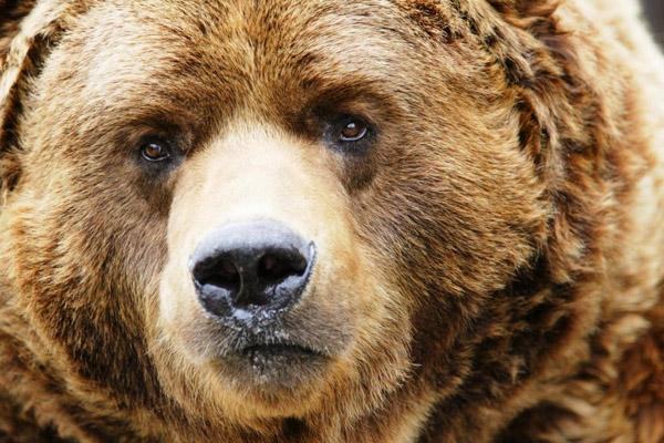 В Приамурье медведица едва не закопала раненую женщину