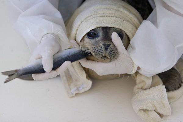 Самка тюленя, гостившая на территории завода во Владивостоке, попала в реабилитационный центр с отравлением