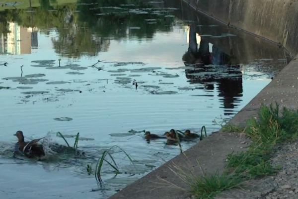 Зоозащитники требуют убрать плиты в прудах, из-за которых гибнут утки