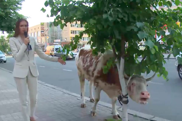 В Курске арестовали журналистку, которая привела корову в прокуратуру