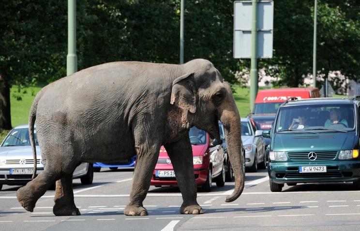 В Германии слон сбежал из цирка и растоптал человека