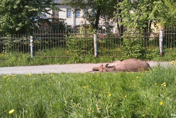 На Урале лось разбился насмерть, пытаясь перепрыгнуть через забор детского сада