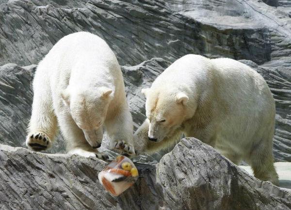 Для спасения белых медведей от жары в Пражском зоопарке придумали новое меню