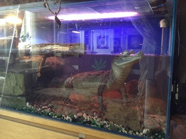 Двухметровый крокодил живет в квартире ставропольчанина