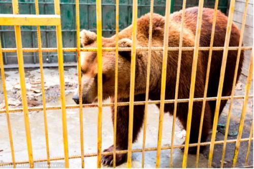 Опасный медведь, оторвавший девушке руку, едет из Томска в Москву