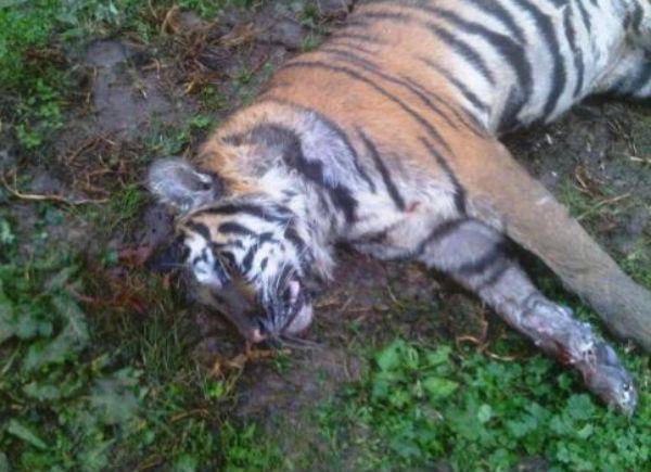 После наводнения в Тбилиси найден мертвый тигр
