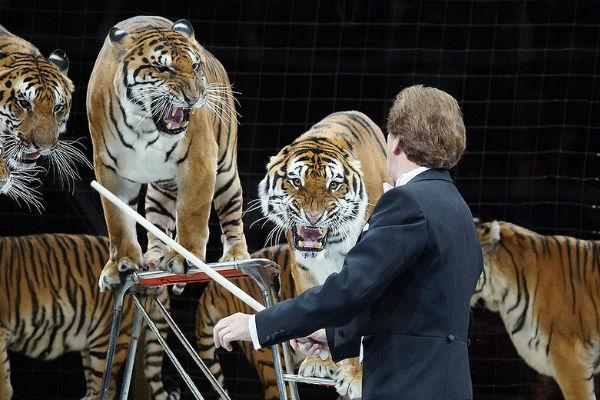 Цирковое представление в Рязани закончилось побегом тигра