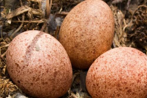 В Домодедово поймали болгарина с яйцами