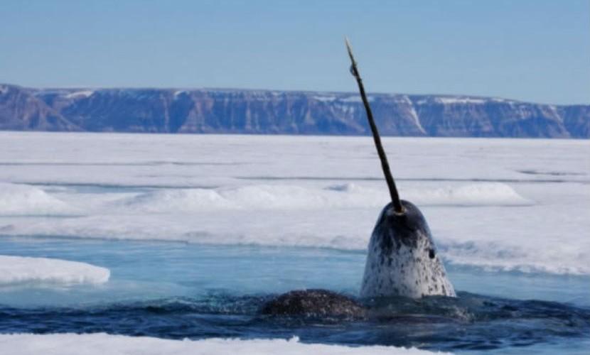 Российские полярники обнаружили на Северном полюсе необычного кита-единорога