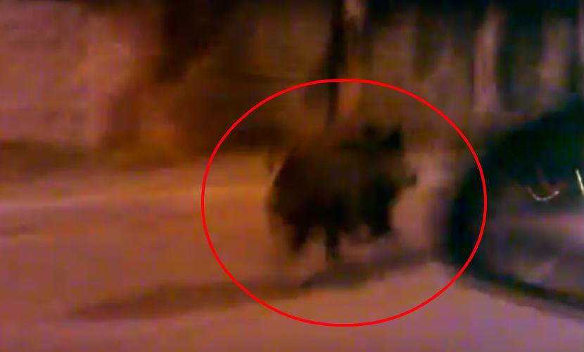 По улицам Петербурга бегает дикий кабан