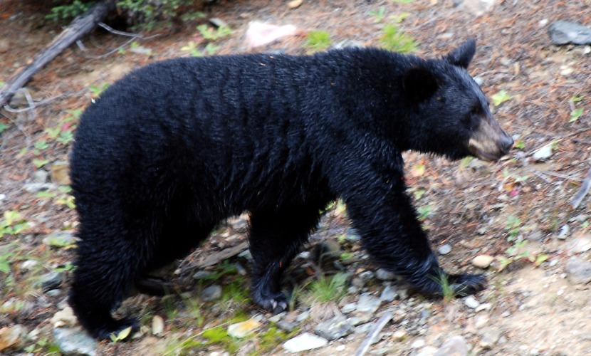 В американском штате Монтана на старушку напал черный медведь