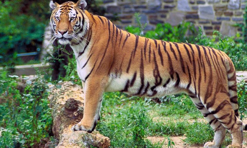 Суматранский тигр насмерть загрыз смотрителя польского зоопарка