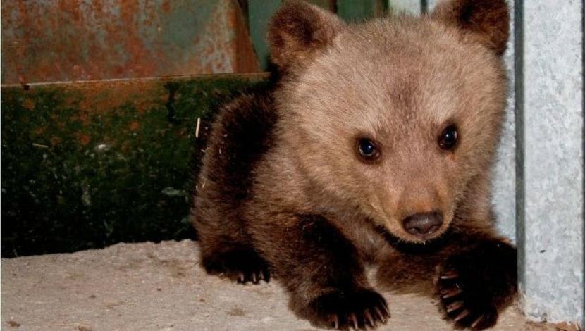 На Камчатке медвежонок-воришка объелся и застрял в форточке