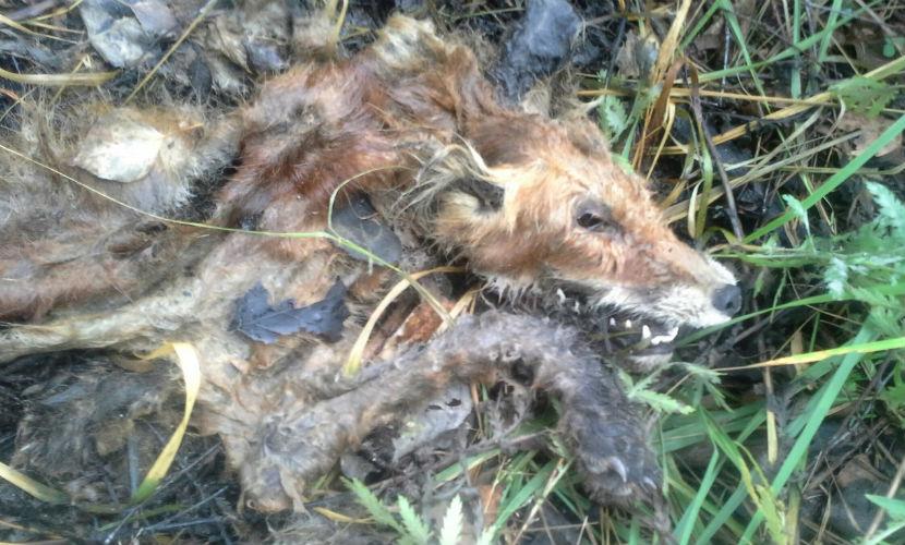 Тела погибших животных долгое время оставались нетронутыми - их не ели даже падальщики.