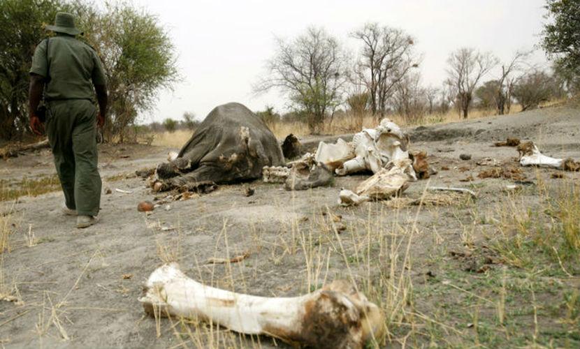 22 тушки отравленных слонов нашли в парке дикой природы Зимбабве