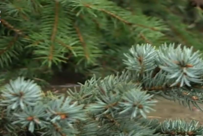 Мэр Кишинева опозорился с зелено-голубой новогодней елкой