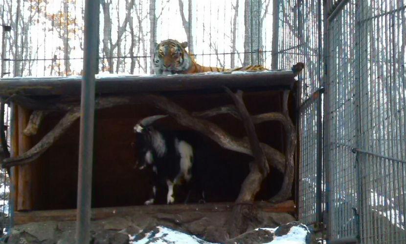 Смелый козел прогнал амурского тигра с его лежбища в Приморье