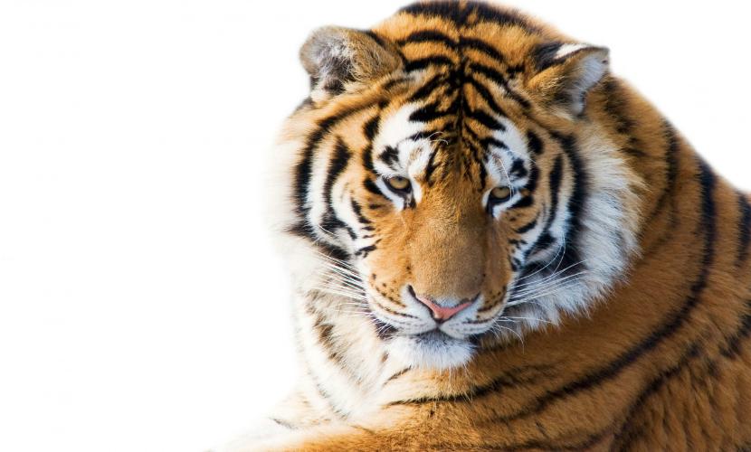 Краснокнижный амурский тигр погиб от рук охотника в Хабаровском крае