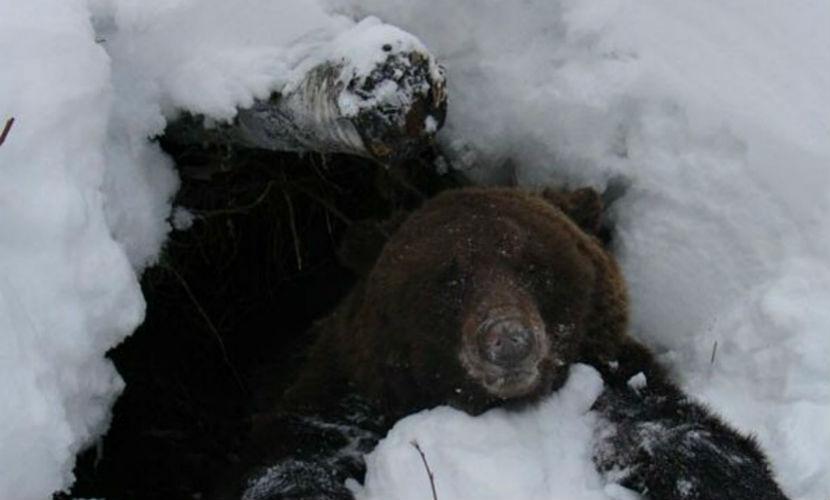 Разъяренный медведь у своей берлоги под Красноярском разодрал охотника