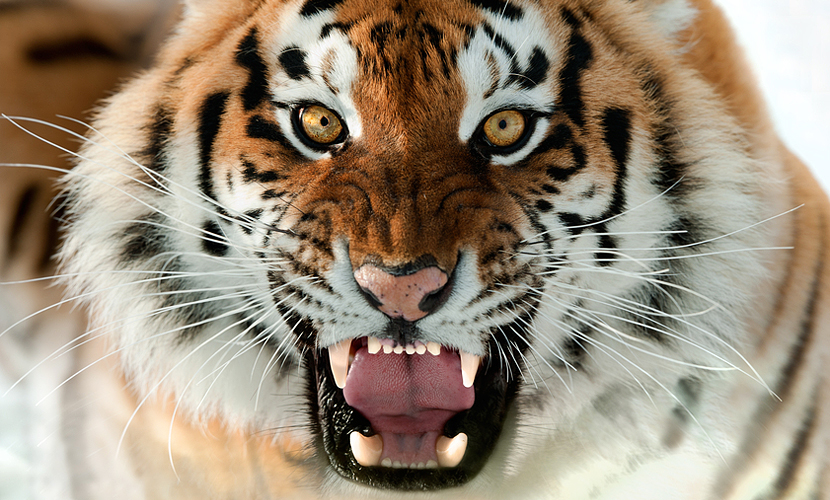 Амурский тигр, напавший на охотника в Приморье, оказался