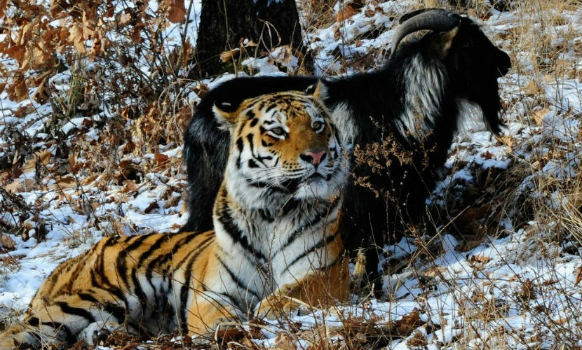 Дружбу тигра Амура и козла Тимура хотят превратить в реалити-шоу