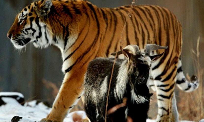 Тигру Амуру и козлу Тимуру привезли новогоднюю елку и подарки