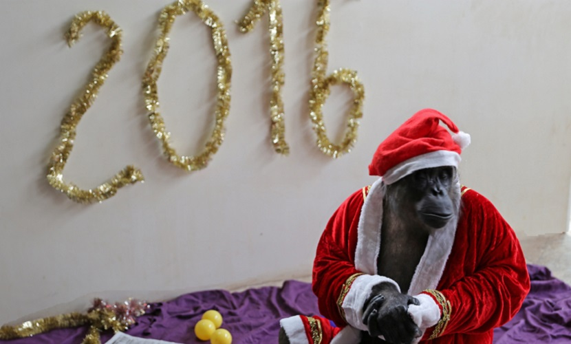Обезьяна-крупье из казино «Космос» празднует 8-й Новый год без алкоголя