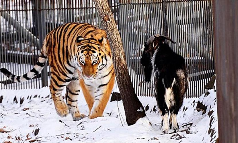 Козел Тимур и тигр Амур не могут есть друг без друга