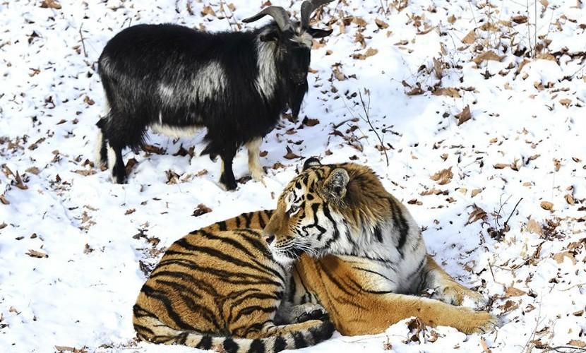 К козлу Тимуру и тигру Амуру подселят тигрицу-разлучницу