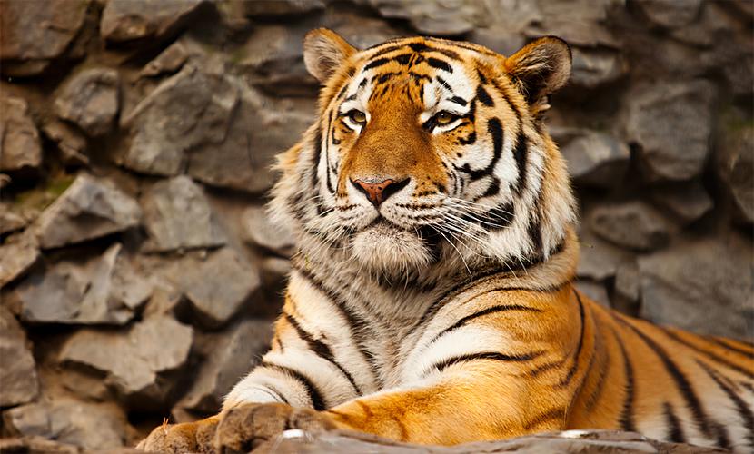 Приморца обвинили в незаконной добыче и попытке продажи шкуры амурского тигра