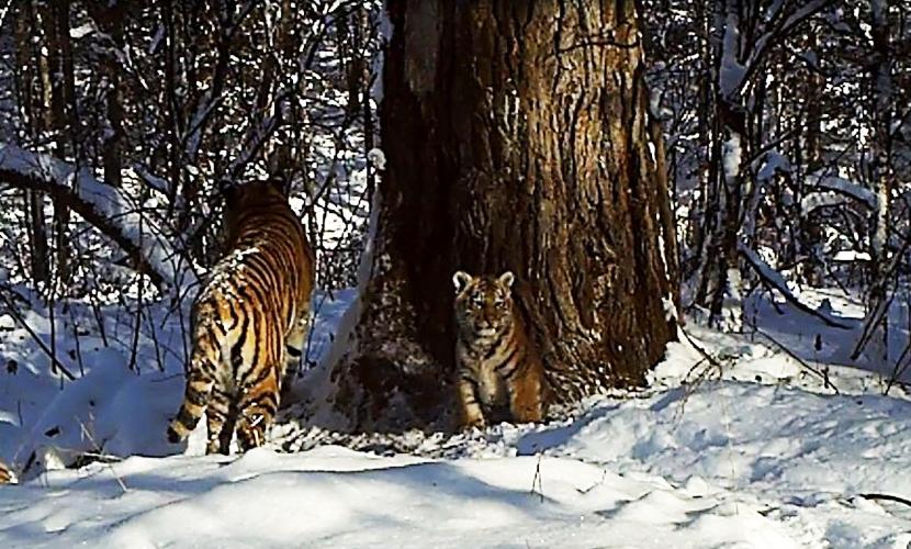 Два тигренка родились у спасенной от голодной смерти тигрицы Золушки