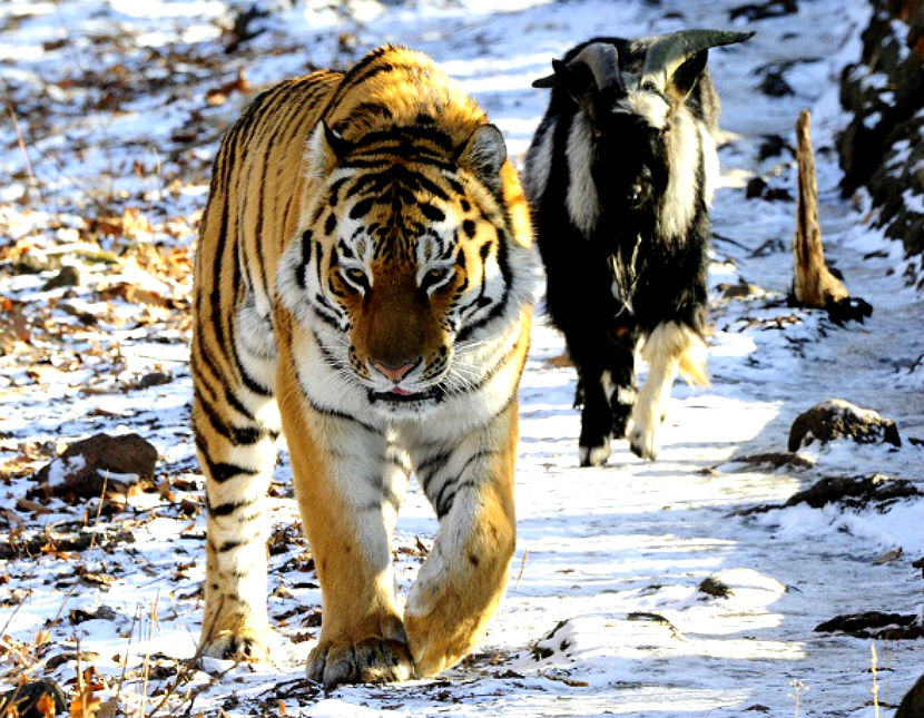 тигр1